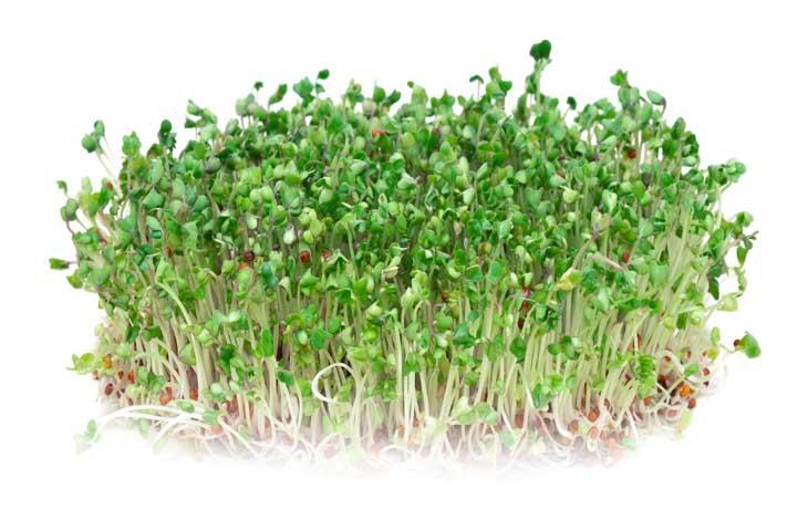 Antynowotworowe Właściwości Kiełków Brokuła