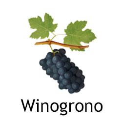 Winogrono najesień